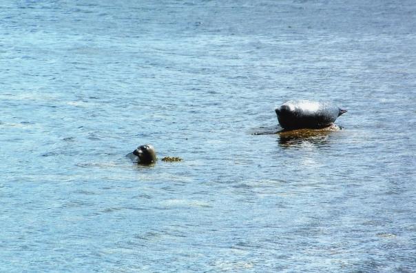 seals-relaxing-arran